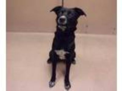 Adopt Cyclone a Black Border Collie / Mixed dog in Reno, NV (25350153)