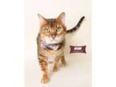 Adopt Akbar (special story) a Brown Tabby Domestic Shorthair (short coat) cat in