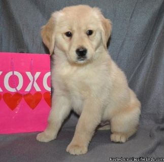 FGHSERH GOLDEN RETRIEVER PUPPIES AVAILABLE FOR SALE Text: (4O4) 692 XX 3714