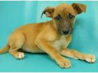 Adopt Bianca a German Shepherd Dog
