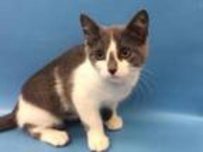 Adopt Jazzy a Domestic Short Hair