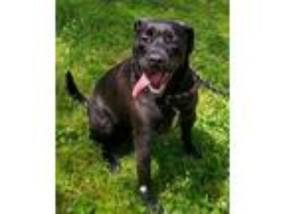 Adopt Arnie a Labrador Retriever / Boxer / Mixed dog in Osage Beach