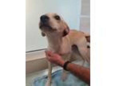 Adopt Camry a Labrador Retriever, Mixed Breed