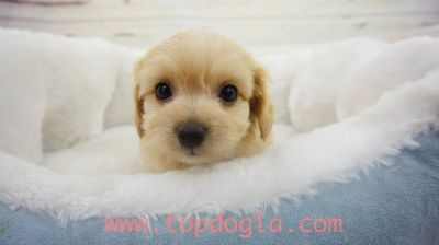 Morky Puppy- Male- London ($1.299)