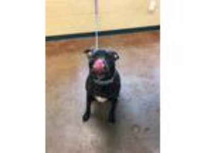 Adopt Shadow a Black Pit Bull Terrier / Mixed dog in Independence, MO (25567794)