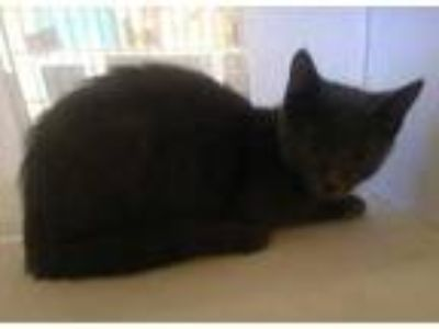 Adopt Monty(Red)(Avail 6/16) a Gray or Blue Russian Blue / Domestic Shorthair /