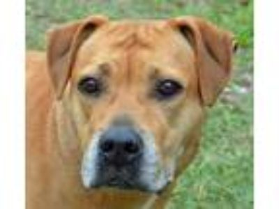 Adopt Macy a Tan/Yellow/Fawn Labrador Retriever / Shar Pei / Mixed dog in