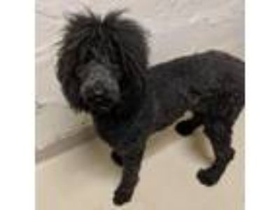 Adopt Sue a Black Poodle (Standard) / Mixed dog in Racine, WI (25548607)
