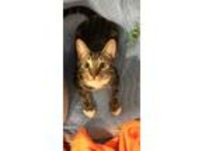 Adopt Finn a Brown Tabby Domestic Shorthair / Mixed cat in Archbald