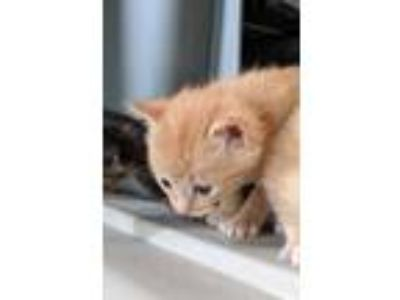 Adopt Bellona a Orange or Red Domestic Shorthair / Mixed (short coat) cat in