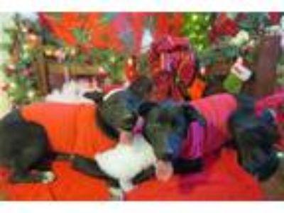Adopt Simone a Black Labrador Retriever, Bull Terrier