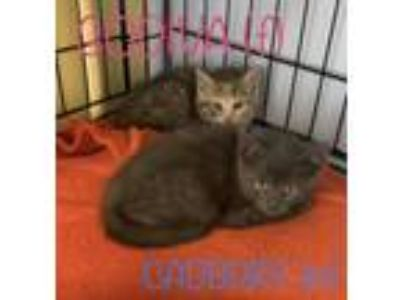 Adopt 6 Chocolate Kittens (not ready yet) a Domestic Short Hair, Russian Blue
