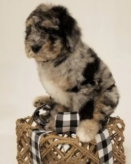Aussiedoodle PUPPY FOR SALE ADN-104982 - Aussiedoodle