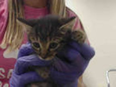 Adopt BABY a Brown Tabby Domestic Shorthair / Mixed (short coat) cat in Doral