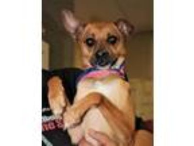 Adopt Eli a Tan/Yellow/Fawn Terrier (Unknown Type, Small) / Mixed dog in
