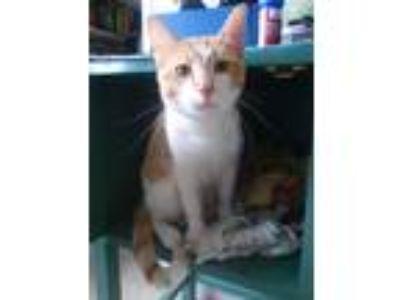 Adopt Monty a Orange or Red Tabby American Shorthair cat in Denver