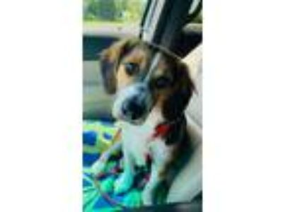 Adopt Maggie May a Beagle, Collie