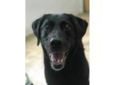 Adopt Callie a Black Labrador Retriever / Mixed dog in Chico, CA (25271542)