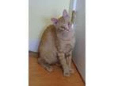 Adopt Elmer a Domestic Short Hair