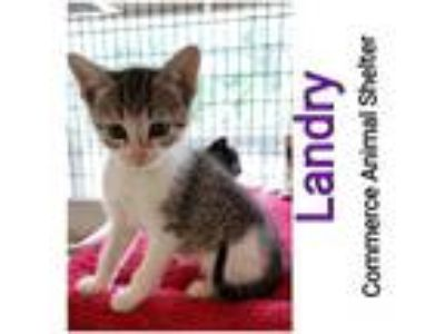 Adopt Landry a Domestic Shorthair / Mixed (short coat) cat in Commerce