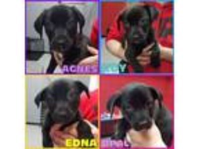 Adopt Shepherd/Lab/Pit Puppies 3 Girls 1 Boy a German Shepherd Dog