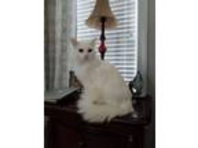 Adopt Alegria (Has Application) a White Domestic Longhair cat in Washington