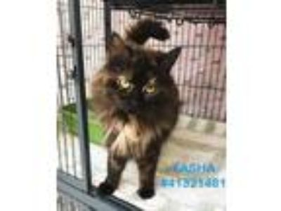 Adopt Tasha- #10 a All Black Domestic Longhair / Domestic Shorthair / Mixed cat