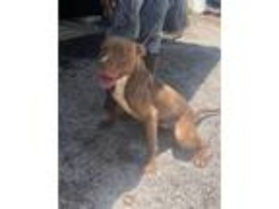 Adopt Donny a Pit Bull Terrier