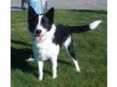 Adopt Nelley a Border Collie