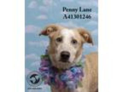 Adopt Penny Lane (In a Foster Home) a Tan/Yellow/Fawn - with White Labrador