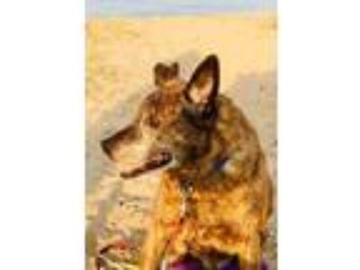 Adopt Buster a Brindle - with White Australian Cattle Dog / Mixed dog in