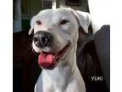 Adopt Yuki a White Labrador Retriever / Boxer / Mixed dog in Denton