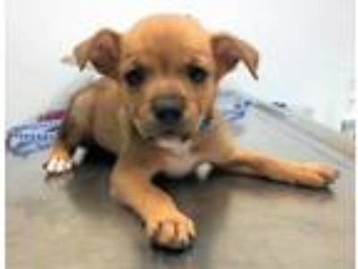 Adopt Aldrin a Terrier, Carolina Dog