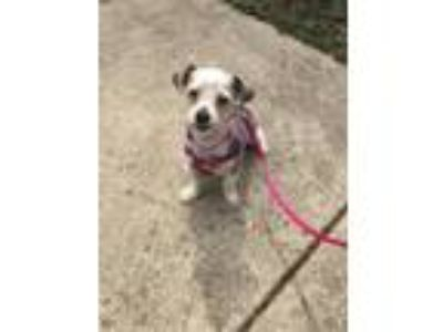 Adopt Pearl a Brown/Chocolate - with Black Shih Tzu / Mixed dog in Plainfield