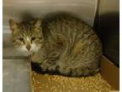 Adopt Johnnie a Domestic Short Hair