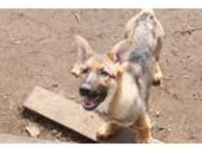 Adopt Gia a German Shepherd Dog, Shepherd