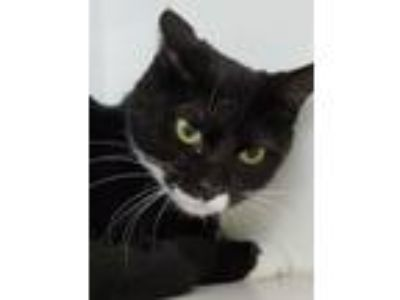 Adopt Gabowski Gal a Domestic Short Hair