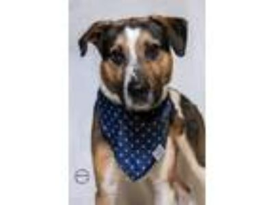 Adopt Buster a Tricolor (Tan/Brown & Black & White) Beagle / Labrador Retriever