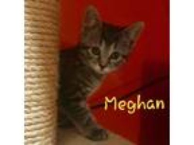 Adopt Meghan a Brown Tabby Domestic Shorthair (short coat) cat in Cherry Hill