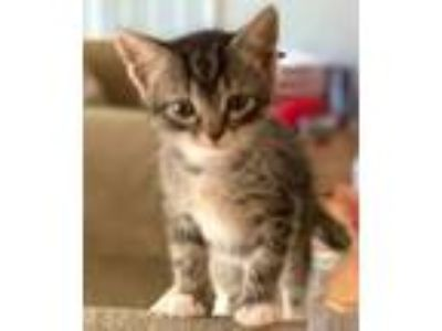 Adopt Fleur a Gray, Blue or Silver Tabby Domestic Shorthair (short coat) cat in