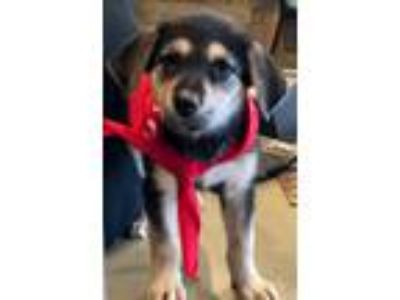 Adopt Rizzo a Black - with Tan, Yellow or Fawn Shepherd (Unknown Type) / Mixed