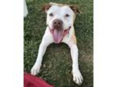 Adopt Buttercup a White - with Tan, Yellow or Fawn American Staffordshire