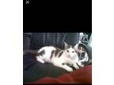 Adopt Bella a Black & White or Tuxedo American Shorthair cat in Wichita