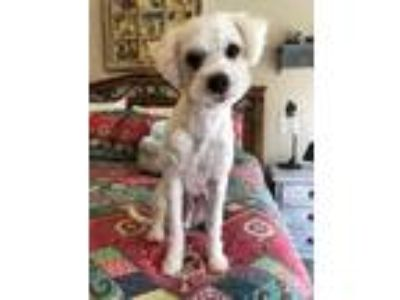 Adopt Ozzie a Poodle (Miniature) / Mixed dog in Bothell, WA (25490024)