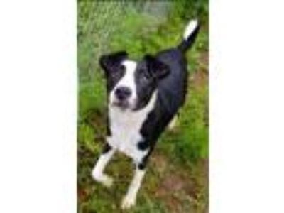 Adopt Rosie a Black Border Collie / Mixed dog in E. Brookfield, MA (25543775)