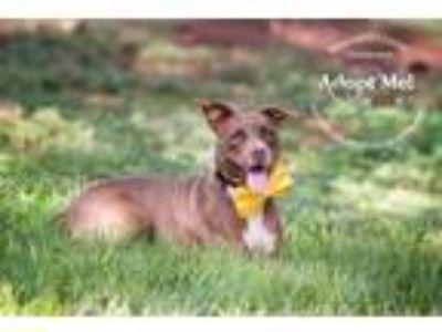 Adopt Lila a American Staffordshire Terrier, Chocolate Labrador Retriever