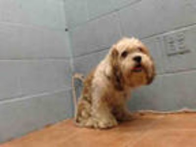 Adopt BROWNIE a White - with Brown or Chocolate Shih Tzu / Mixed dog in Downey