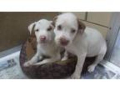Adopt 5 Little Rascals 3 ADOPTED a English Setter / Hound (Unknown Type) / Mixed
