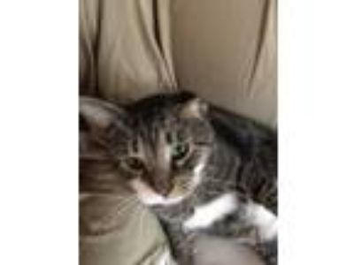 Adopt Teddy a Brown Tabby Domestic Shorthair / Mixed cat in Rochester