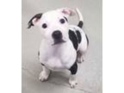Adopt Khale a American Staffordshire Terrier, Pit Bull Terrier